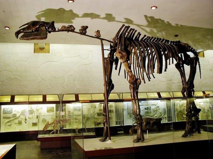 Reeconstrucción del Paraceratherium