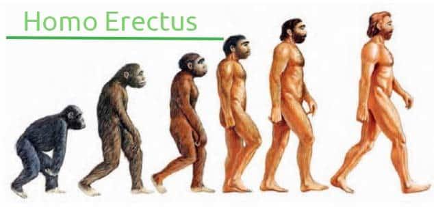 homo erectus- evolucion del hombre