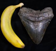 Fósil de diente de megalodón