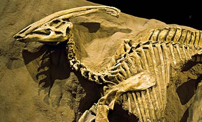 fosil de Parasaurolophus